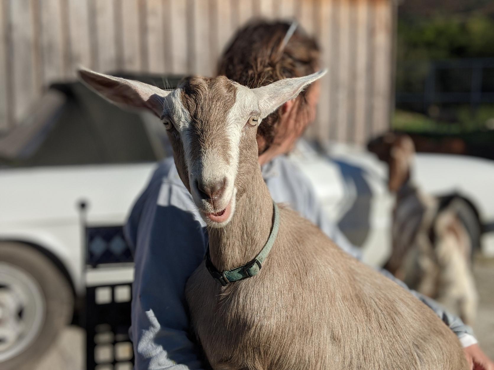 Achray Farm Goat